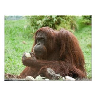 Comendo o orangotango impressão de foto