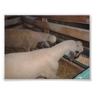 Comer de dois carneiros arte de fotos