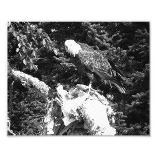 Comer de Eagle Impressão De Foto