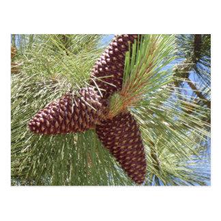 cones do pinho, pinho, Lake Tahoe, natureza Cartão Postal