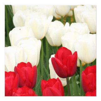 Convites vermelhos e brancos das tulipas