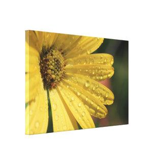 cópia amarela das canvas do osteospermum impressão em tela