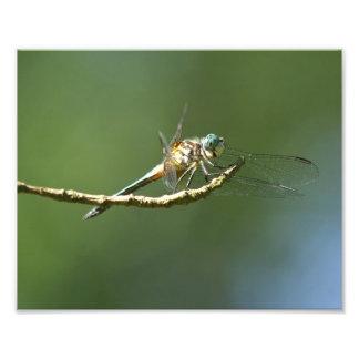 Cópia azul da foto da libélula de Dasher Impressão De Foto