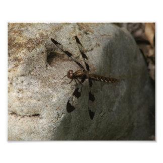 Cópia comum da foto da libélula do Whitetail