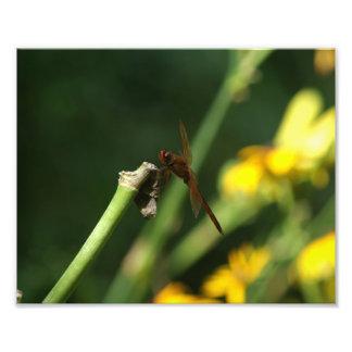 Cópia da foto da libélula do Skimmer de Needham Impressão De Foto