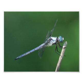 Cópia da foto da libélula impressão de foto