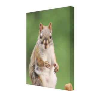 Cópia das canvas do esquilo vermelho impressão em tela