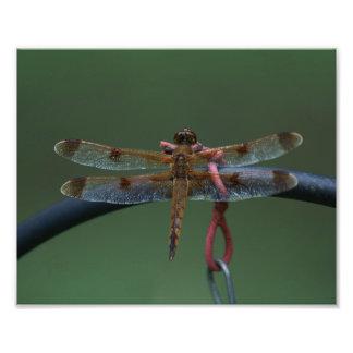 Cópia pintada da foto da libélula do Skimmer Impressão De Foto