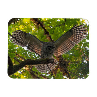 Coruja barrada com as asas Outstretched Ímã