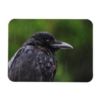 Corvo ou corvo na chuva ímã