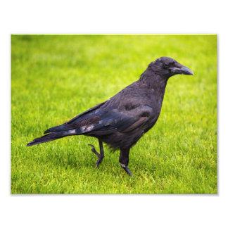 Corvo preto impressão de foto