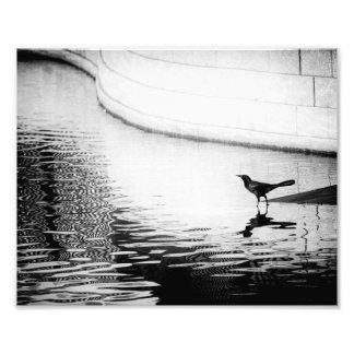 Corvo refletido na água - fotografia de B&W