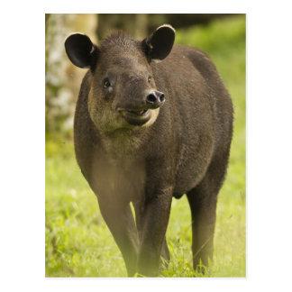 Costa Rica. Bairdii do Tapirus do Tapir de Cartão Postal