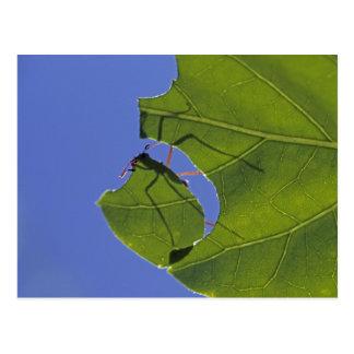 Costa Rica, formigas do cortador da folha, Cartão Postal