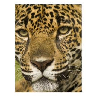 Costa Rica. Retrato do onca do Panthera de Jaguar) Cartão Postal