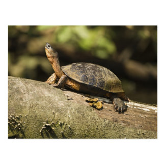 Costa Rica. Tartaruga de madeira preta Rhinoclemmy Cartao Postal