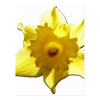 Daffodil 1,0 da trombeta amarela cartão postal