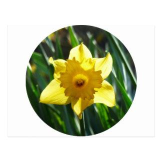 Daffodil amarelo 02.2_rd cartão postal