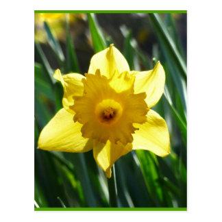 Daffodil amarelo 03.0.g cartão postal