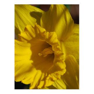 Daffodil bonito cartão postal