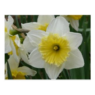 daffodil cartão postal