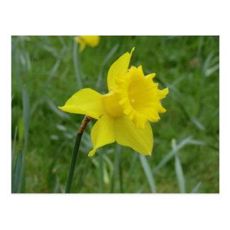 Daffodil de Galês na flor Cartão Postal