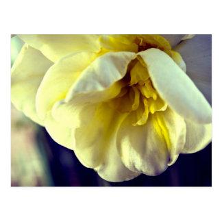 Daffodil do narciso