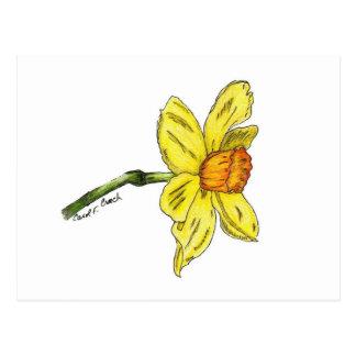Daffodil narciso cartao postal