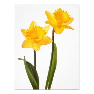 Daffodils amarelos no branco - vazio da flor do Da Impressão De Fotos