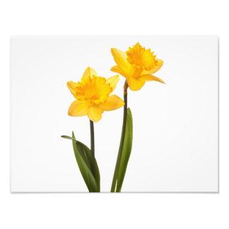 Daffodils amarelos no branco - vazio da flor do impressão de foto