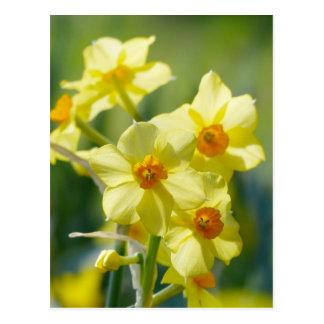 Daffodils bonito, narciso 03,1 cartão postal