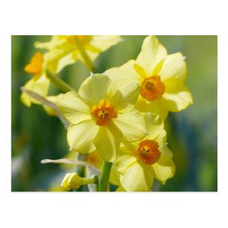 Daffodils bonito, narciso 03,2 cartão postal