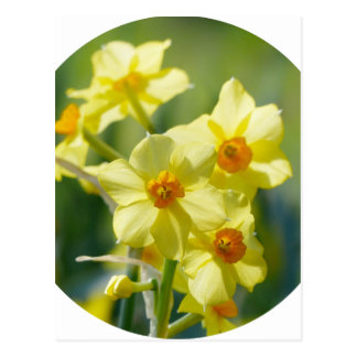 Daffodils bonito, narciso 03.2_rd cartão postal