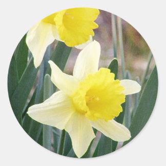 Daffodils lindos adesivo