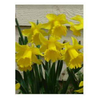 Daffodils na ilha de Unalaska Cartão Postal