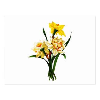 Daffodils ou narciso por Pierre Joseph Redoute Cartão Postal
