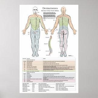 Dermatomes, Myotomes e poster de DTR