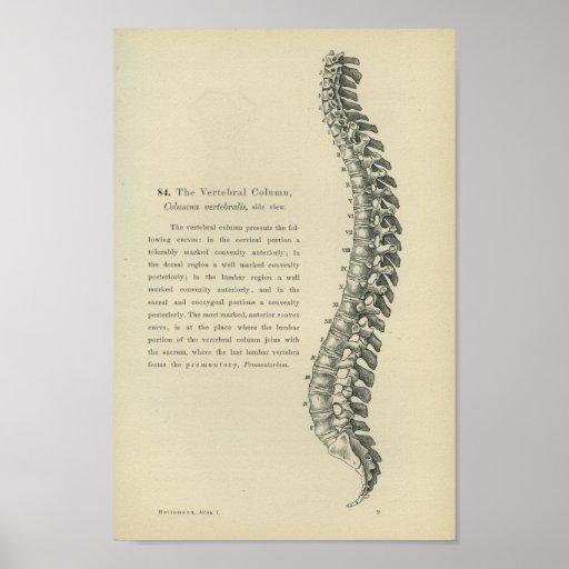 Descrição da coluna vertebral posteres