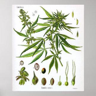 Desenho Sativa da Botânica do vintage da planta Poster
