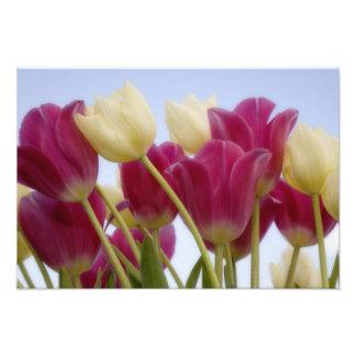 Detalhe de tulipas. Crédito como: Don Paulson/ Impressão De Fotos