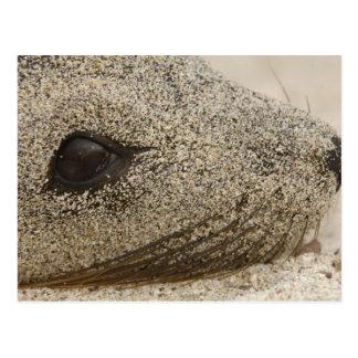 Detalhe de um Zalophus do leão-marinho de Cartão Postal