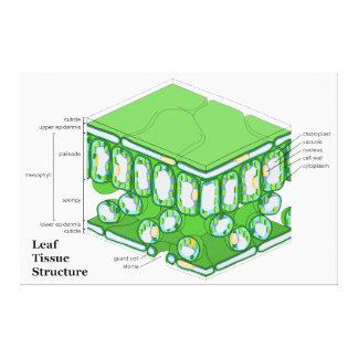 Diagrama da estrutura do tecido da folha