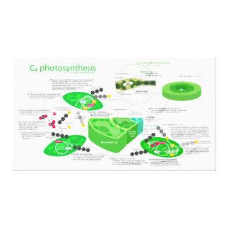 Diagrama da fotossíntese C4 Impressão Em Tela