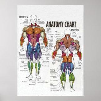Diagrama do músculo - poster do Gym