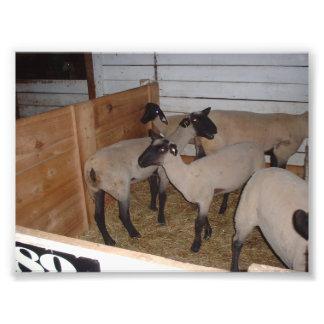 Diversos carneiros em uma tenda do celeiro foto