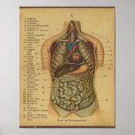 Do impressão alemão da anatomia de Vinatge órgãos