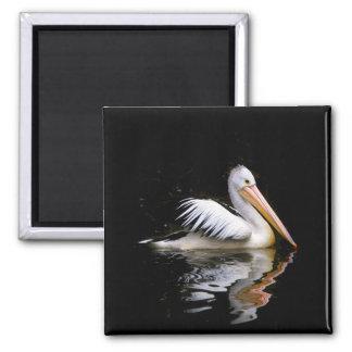 ~ do PELECANUS CONSPICILLATUS (pelicano Ímã Quadrado