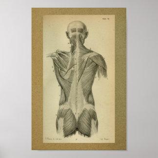 Do vintage da anatomia do impressão músculos 1850