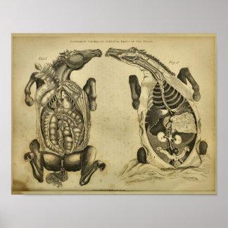 Do vintage interno da anatomia do cavalo impressão