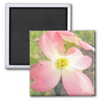 Dogwood cor-de-rosa ímã quadrado